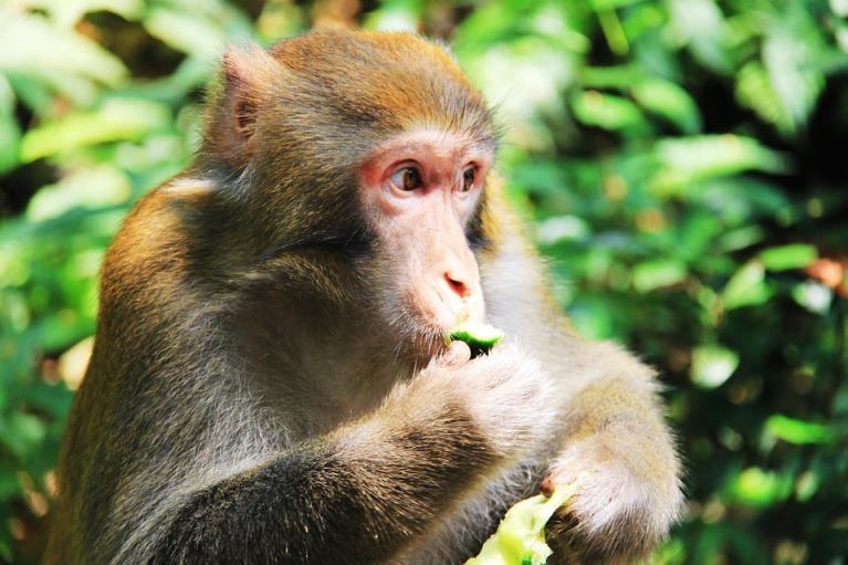 Monyet Makan Kacang